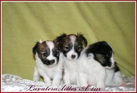 Lavatera A, 1 month